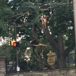 This beautiful old tree in Philadelphia was twisted up like a pretzel.