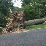 Monstrous tree in the next town. The root ball was far over the top of my car